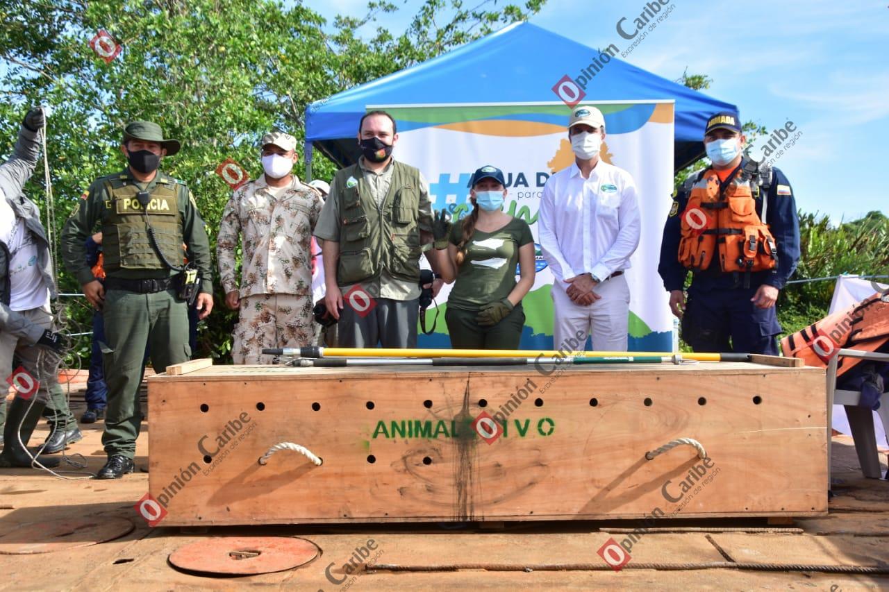 !Con éxito! Corpamag libera Caimán Aguja en sector recuperado de la Ciénaga Grand (1)