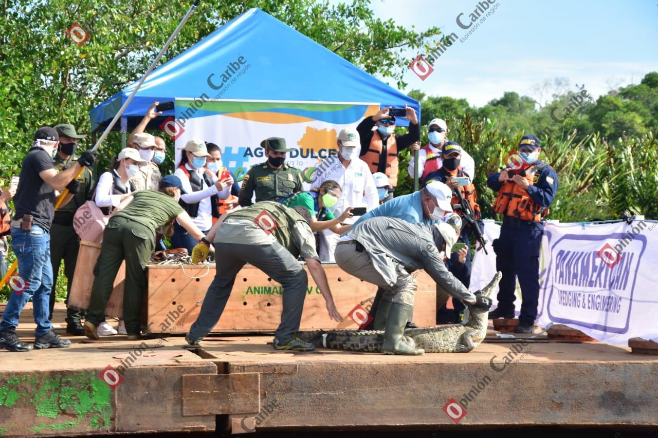 !Con éxito! Corpamag libera Caimán Aguja en sector recuperado de la Ciénaga Grand (2)