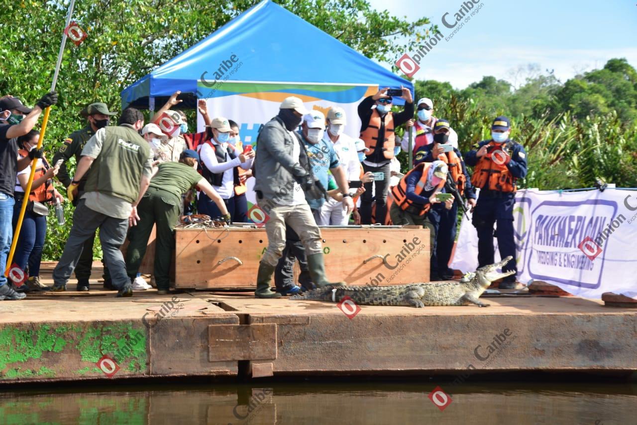 !Con éxito! Corpamag libera Caimán Aguja en sector recuperado de la Ciénaga Grand (4)